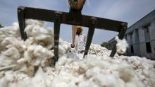 Monsanto loses Indian legal battle over GM cotton patents