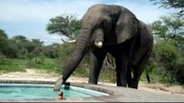 Bear Goes for Swim, Elephant Drinks from Swimming Pool
