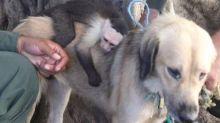 Instinto maternal: conmovedora historia de una perra callejera que adoptó a un monito