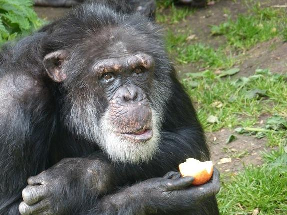 Chimps Can Learn Foreign 'Dialects,' Experiment Shows