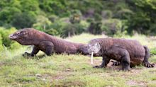 Komodo Island Closing To Tourists After Dragon Smuggling Arrests