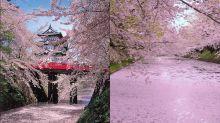 日本必賞落櫻美景 護城河上唯美花筏