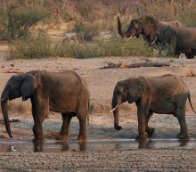 Zimbabwe plans to send dead elephants' brain tissue to U.S. for toxin tests