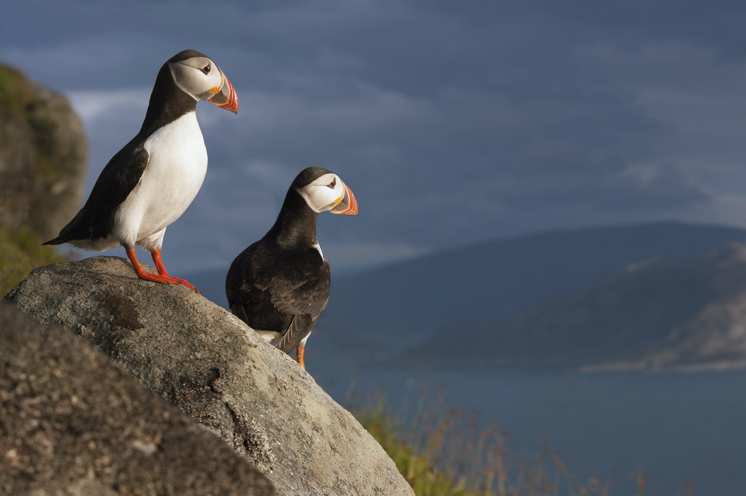 <p>Norway's famous bird island, Runde, is teeming with birds - more than 500,000 that visit from February to August during the nesting season. Bird mountain, with its cliff formations towards the ocean, is dominated by Atlantic puffins. Their nesting season is between April and August, when 100,000 pairs of puffins can be found on the western side of Runde. Outside puffin season, they stay at sea along the coast.</p>