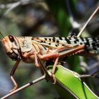 New wave of locusts raises fear for summer crops in India