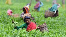 Inde: des centaines de milliers de cueilleurs de thé de l'Assam en grève illimitée