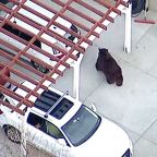 Bear tranquilized after wandering Monrovia neighborhood
