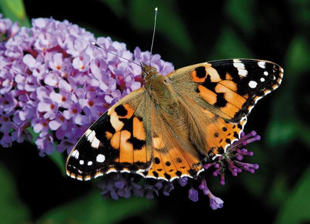 Millions of painted lady butterflies seen across UK in once-in-a-decade phenomenon