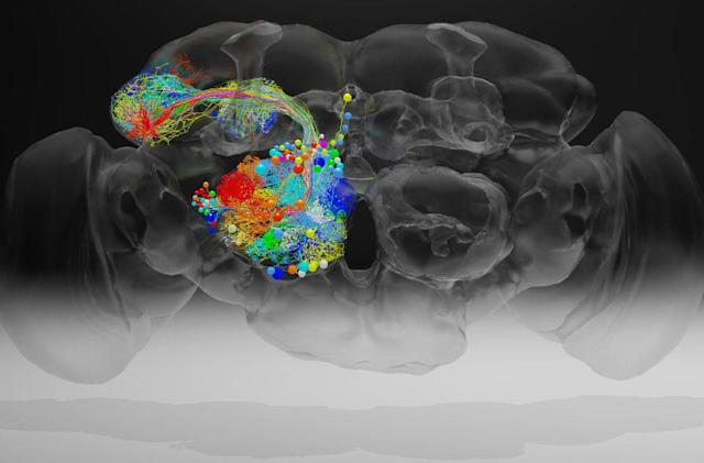 Researchers capture high-resolution image of a complete fruit fly brain