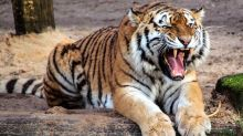 Tigress Sundari Allegedly Kills a Man in Odisha, Later Attacks Journalist Who Went to Cover The Incident
