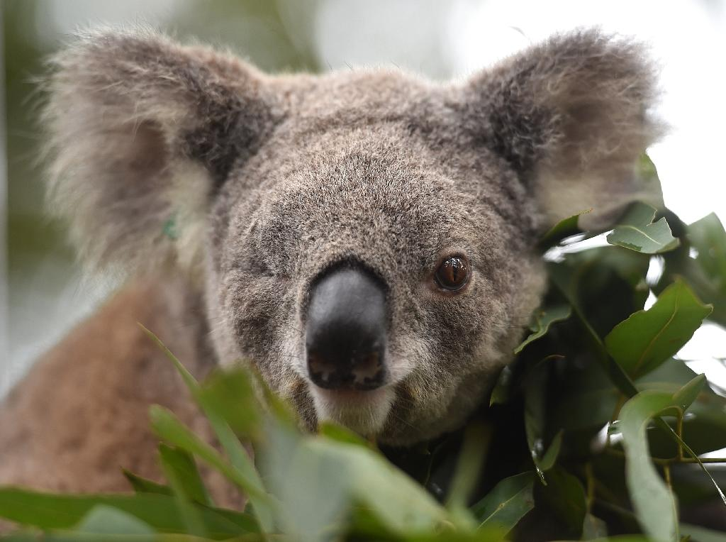 Habitat loss, dog attacks, car strikes, climate change and disease have taken their toll on one of Australia's most recognisable animals (AFP Photo/Peter PARKS)
