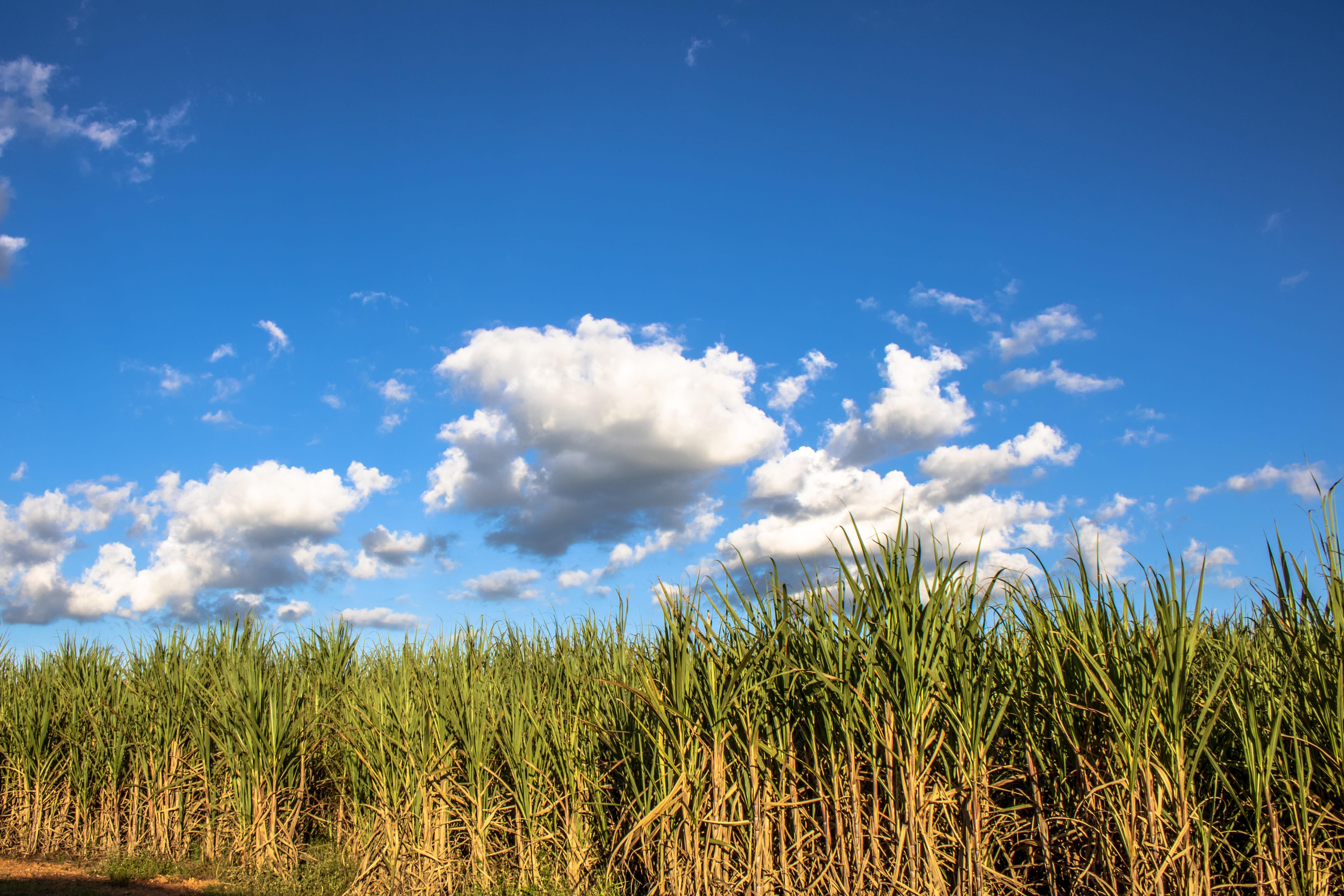 Governo libera cana-de-açúcar na Amazônia e no Pantanal