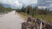 Massive herd of reindeer casually block the road