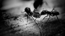 Come eliminare le formiche in modo definitivo e rapido