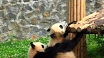Naughty Panda Tries to Play With Its Lazy Friend
