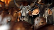 Now, life imprisonment for those found guilty of cow slaughter in Gujarat
