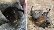 Warning not to touch bats found 'starving to death' in the wild