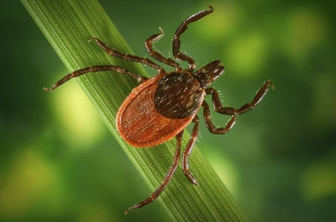 COVID-19 may result in improve in tick-borne sickness, specialists say. Right here's why
