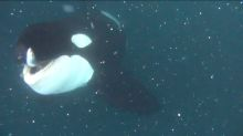 Extremely close underwater encounter with Killer Whale