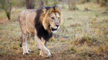 Worker Killed After Lion Escapes North Carolina Preserve's Enclosure