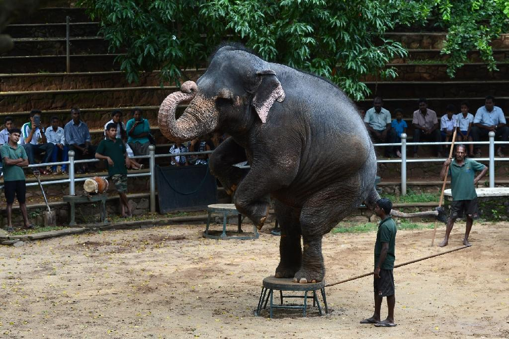 Elephants perform a routine at the zoo in Dehiwala near Colombo, Sri Lanka, where an illegal trade in baby elephants is being fed by a wealthy elite wanting to keep them as a status symbol (AFP Photo/Lakruwan Wanniarachchi)