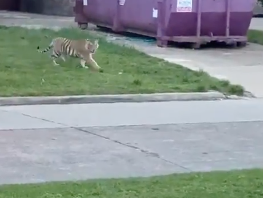 Tiger Who Roamed Houston's Streets Found Unharmed