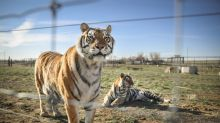 Indiana Zoo Owner Who Appeared in 'Tiger King' Pleads Guilty to Roughing Up Official During Inspection