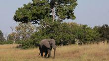 Au Botswana, des éléphants décimés par une toxine mortelle