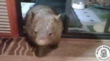 Let Me In! Strong Mother Wombat Breaks Down Door