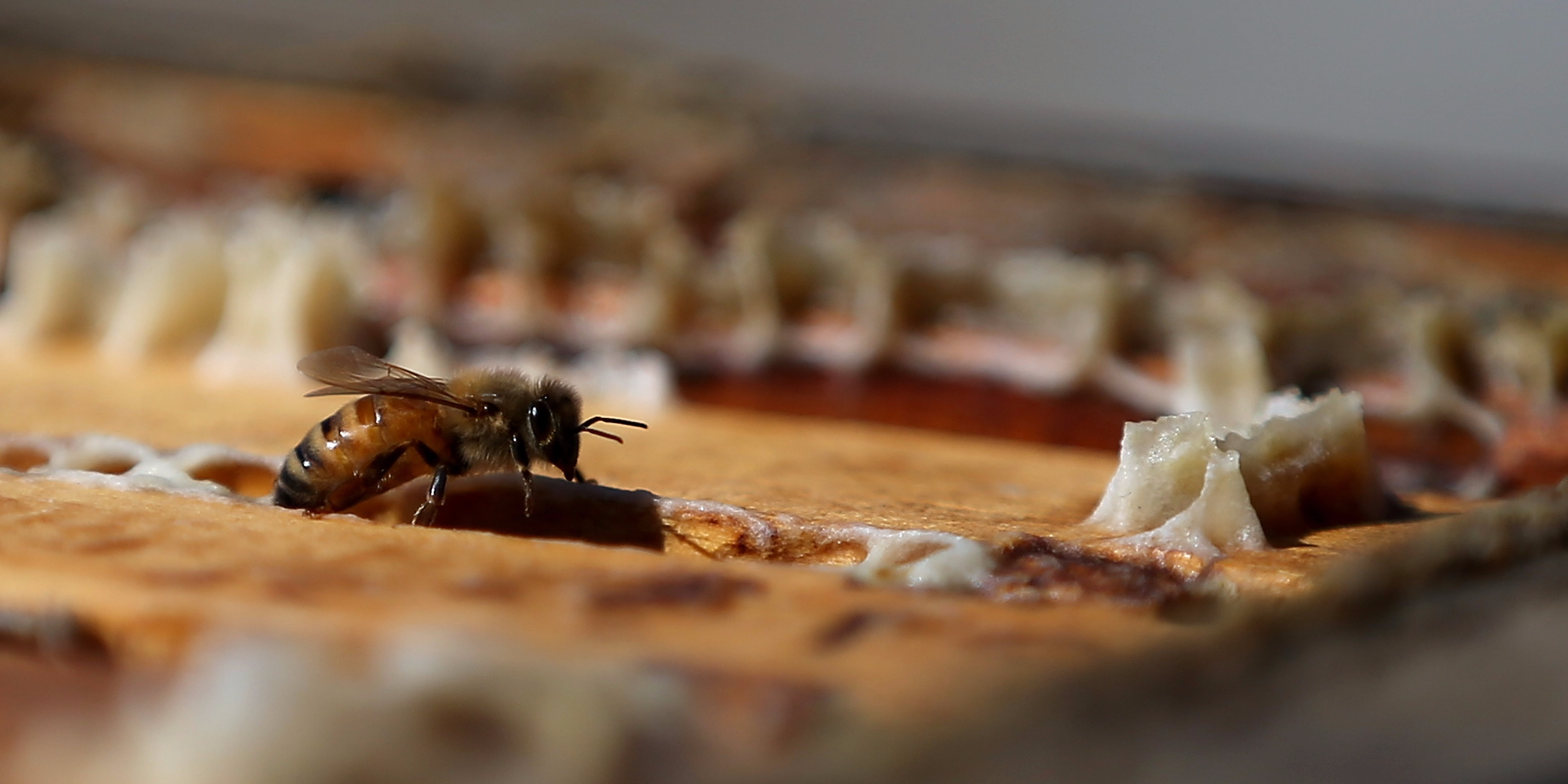 the disappearance of bees and its affect on the future of humans Colony collapse disorder  although the shifting weather conditions themselves negatively affect bees,  examines the relationship between humans and bees and.