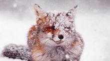 Zorros en la nieve: estas fotos te cautivarán