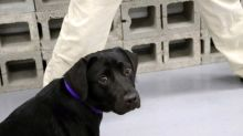 Dog loses interest in bomb sniffing, CIA 'fires' her