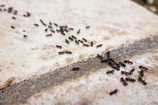 Gene-altered ants show how animal societies work