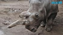 Horror in Nepal Town as Rhino Runs Amok