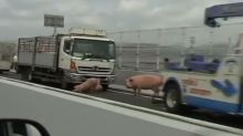 Group of pigs cause chaos on Japanese highway