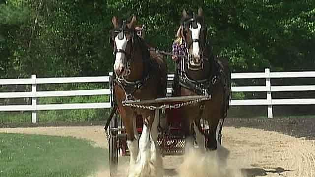 American horsepower: Training the Budweiser Clydesdales