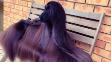 This Afghan hound is destined to become an international supermodel