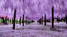 Drop everything and get yourself to Japan's beautiful Great Wisteria Festival, pronto