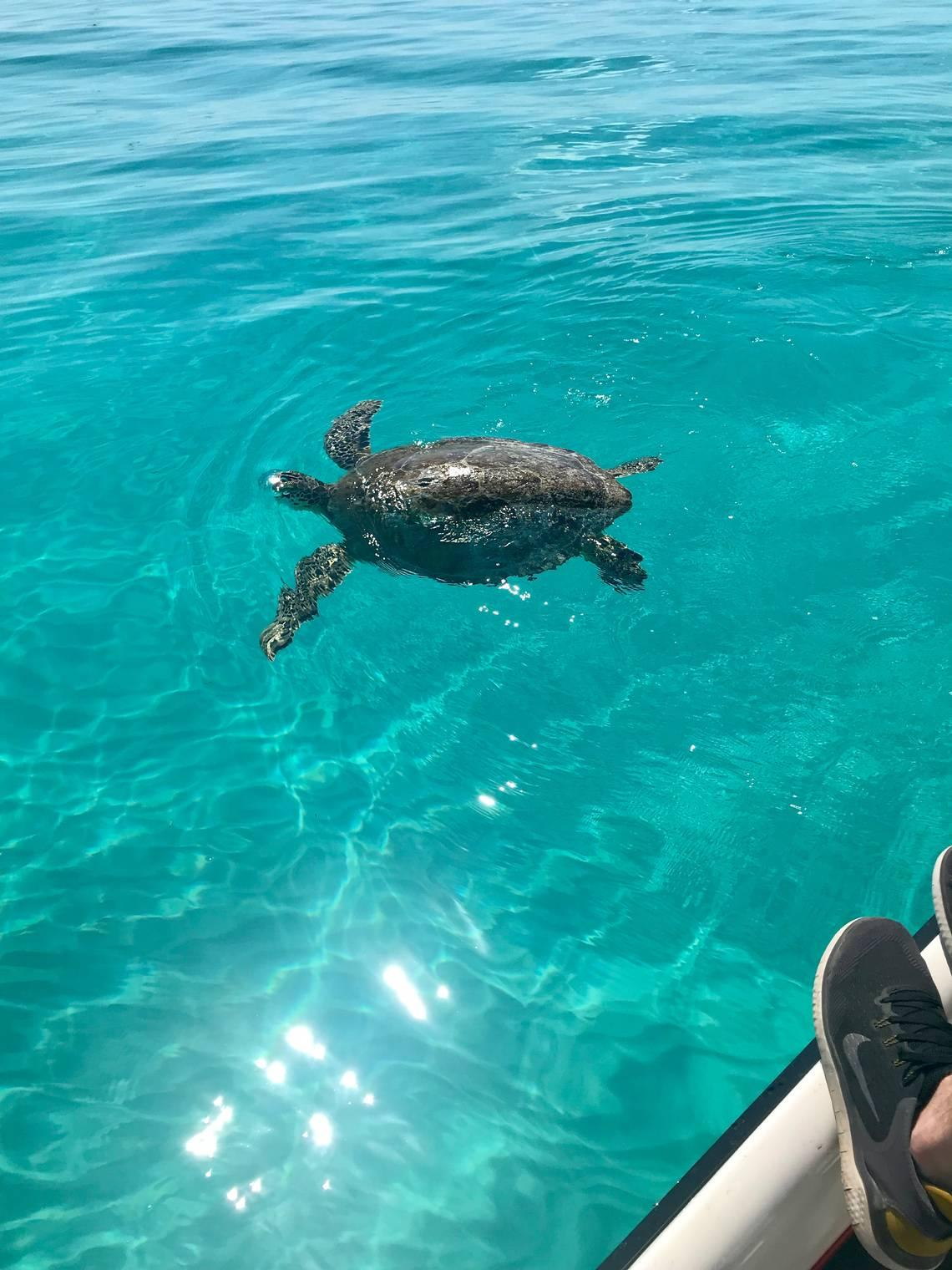 This sea turtle was struggling to swim. Veterinarians are trying to find out why