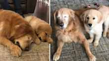 Golden retriever with no eyes has guide dog puppy as best friend