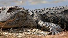 Gli alligatori del Tennessee che assorbono metanfetamine nei fiumi