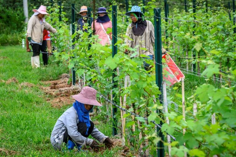 The long term future of Thailand's GranMonte wines is clouded by the kingdom's heavily restrictive booze laws (AFP Photo/Mladen ANTONOV)