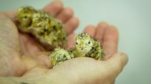 Australian zoo breeds rare plains-wanderer by replacing absent father with feather duster
