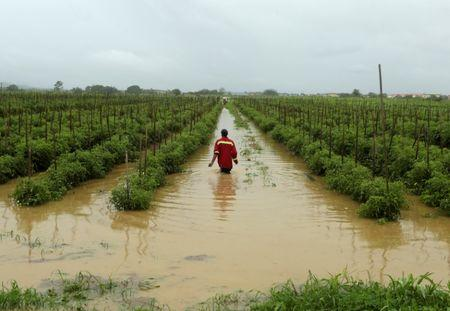 A man wades through a flooded tomato field in the aftermath of tropical storm Bret, which has since then degenerated into a tropical wave according to the U.S. National Hurricane Center (NHC), in Orange Grove, Trinidad and Tobago June 20, 2017. REUTERS/Andrea de Silva