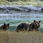 Man dies after grizzly bear attack near Yellowstone