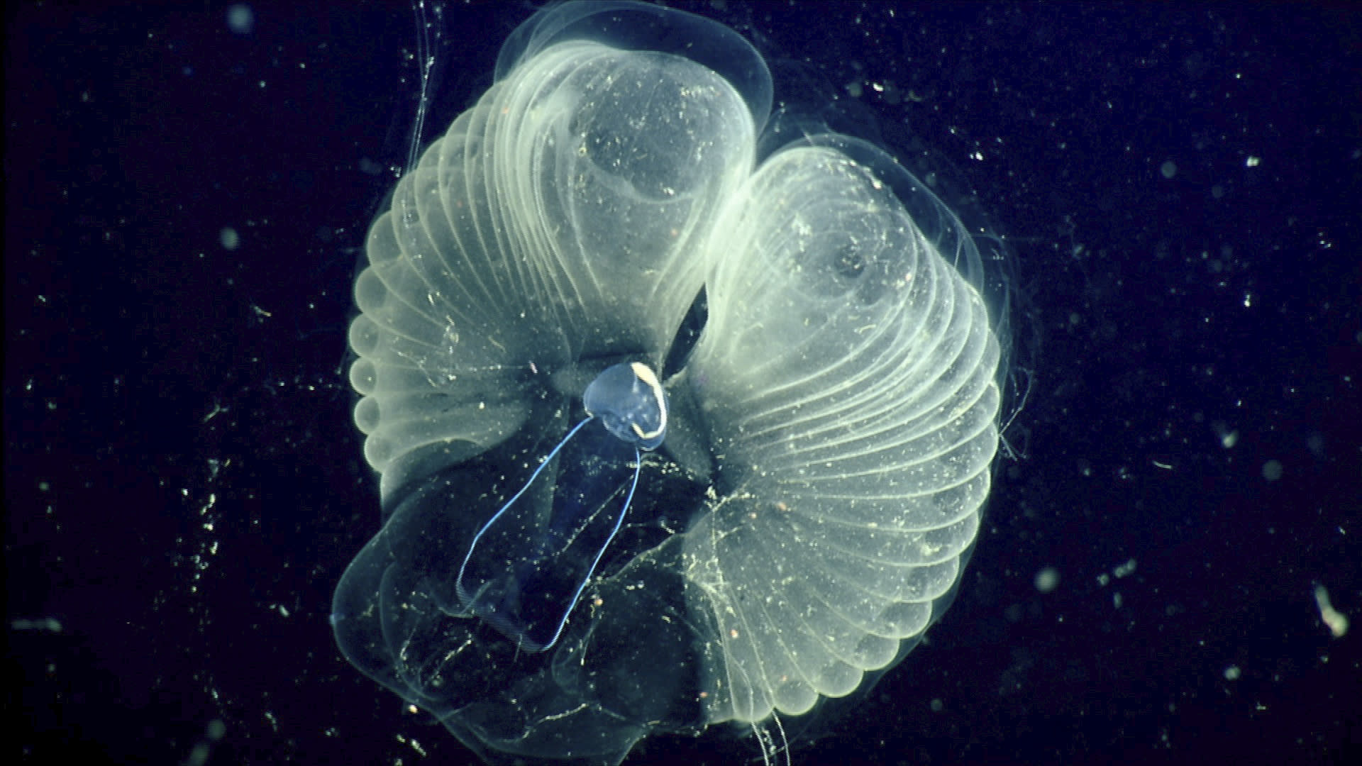"""This 2002 photo provided by the Monterrey Bay Aquarium Research Institute shows a close up view of a """"giant larvacean"""" and its """"inner house"""" - a mucus filter that the animal uses to collect food. The creature, usually three to ten centimeters (about one to four inches) in length, builds a huge mucous structure that functions as an elaborate feeding apparatus, guiding food particles into the animal's mouth. When the filters get clogged, the larvacean abandons them. The abandoned filters sink toward the seafloor, and become an important food source for other marine animals. (MBARI via AP)"""