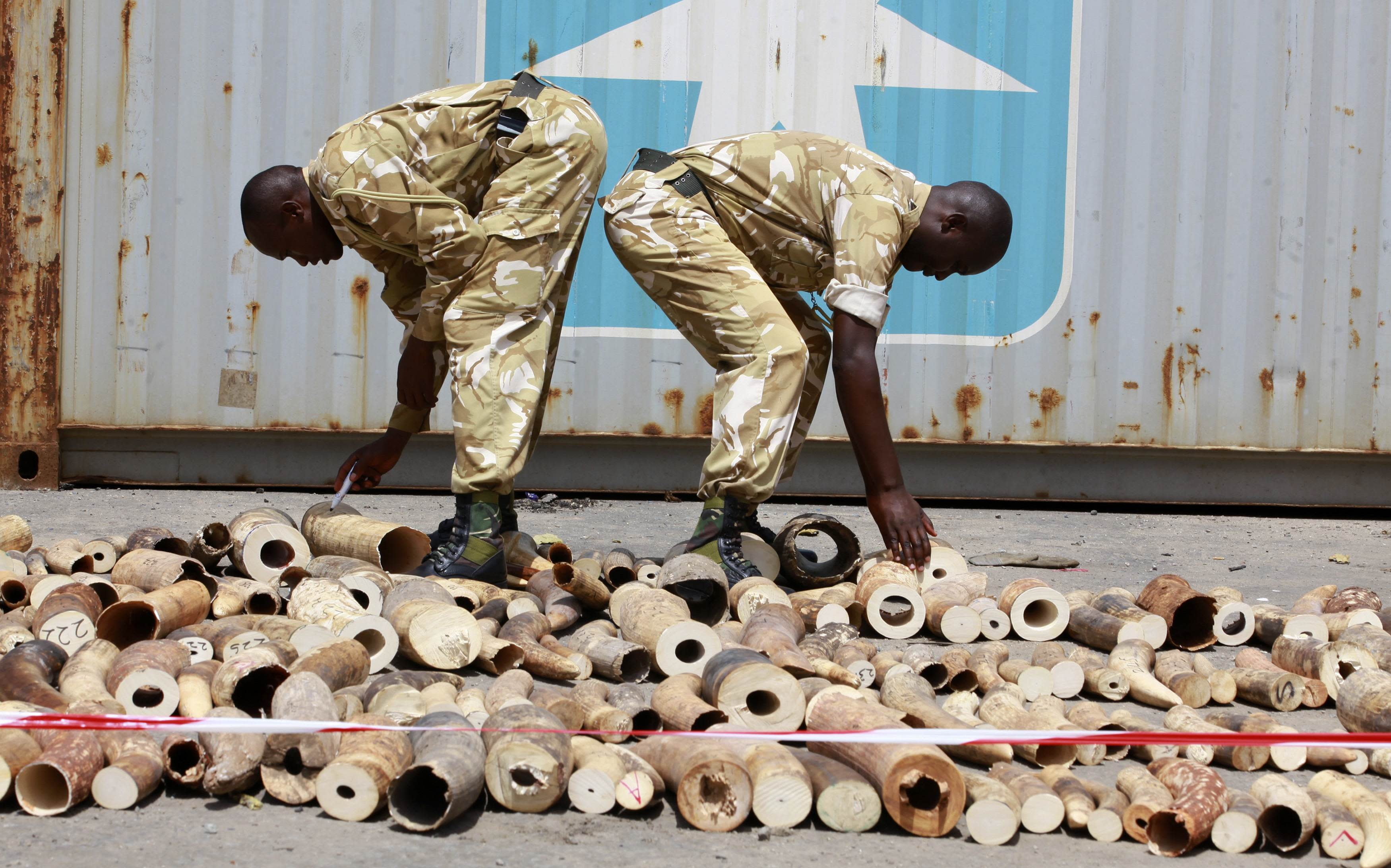 Kenya Wildlife Service (KWS) officers count elephant tusks which they impounded at a container terminal in Kenya's port city of Mombasa October 8, 2013. The container documents indicate that the tusks came Malaba Uganda and were destined for Turkey, Kenya Revenue Authority officials said. REUTERS/Joseph Okanga (KENYA - Tags: ANIMALS CRIME LAW)