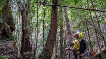 Correction: Australia-Dinosaur Trees story