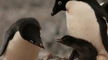 Catástrofe en la colonia de pingüinos Adelaida (solo 2 de los 40.000 polluelos sobreviven)
