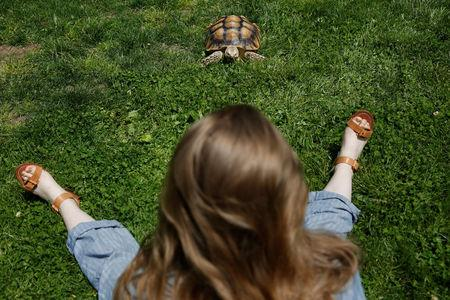 Henry, an African spurred tortoise, walks in the grass of Central Park as his walker Amalia McCallister sits in New York, May 19, 2016. REUTERS/Shannon Stapleton